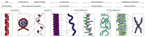 "Our roadmap for the article. The various layers of DNA condensation. From Wikipedia article ""Chromatin""."