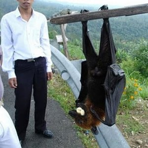 Giant golden-crowned flying fox with man (from FactZoo.com)
