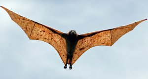 Giant golden-crowned flying fox in flight (from FactZoo.com)