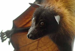 The almost-canine flying fox (from FactZoo.com)