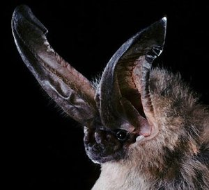The long-eared bat, named after its, uh, long ears (from FactZoo.com)